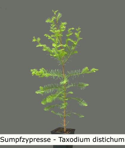 Seedeo Sumpfzypresse Taxodium distichum Pflanze 2,5 Jahre alt