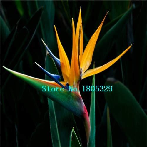 AGROBITS GGG 100pcs / pots pack. Flower jardinières Toutes sortes de couleurs Strelitzia graines de semences reginae paradis des oiseaux hybride Bonsai Graines de fleurs: vente chaude