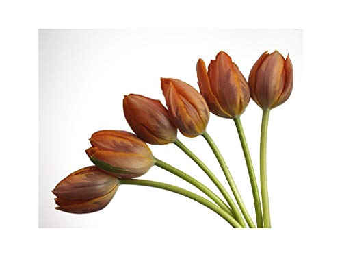 Music Poster Red Tulip Flowers in Fan Shape Arrangement in White Background Nature Print 60x80cm
