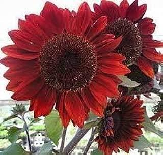 The Dirty Gardener Helianthus Annuus Velvet Queen Sunflower - 100 Seeds