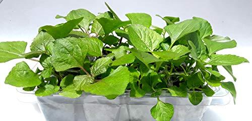 Spilanthes Flower Plant (Buzz Button- Acmella oleracea) Grow Kit: Open/Water/Enjoy