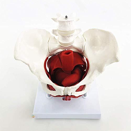 Simulierte anatomisches Modell Becken-Modell Weibliches Becken Anatomie Modell mit Beckenbodenmuskulatur 2 Lendenwirbel Removable mit Basis Life Size Menschliches Organ Modell