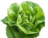 Bib Butterhead Lettuce...image