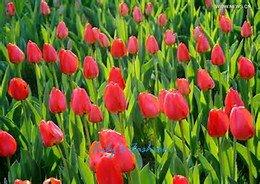 100pcs graines Tulip, Tulip agesneriana, aromatiques graines de fleurs des plantes en pot plus belles plantes de tulipes vivaces Garden 7