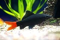 【熱帯魚・コイの仲間】 レッドテール・ブラックシャーク ■サイズ:4cm± (30匹)