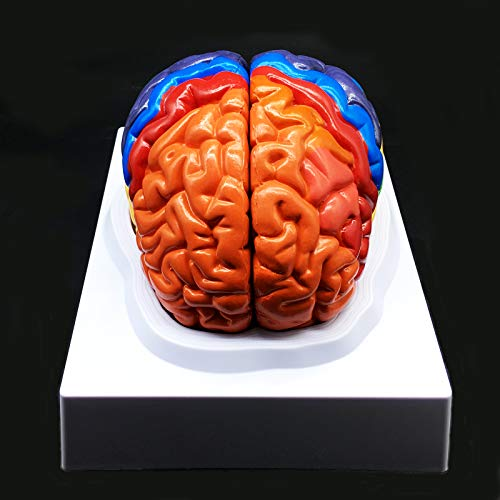 Human Brain Model,Color-Coded Partitioned Brain,2 Parts, Anatomically Accurate Brain Model Life Size Human Brain Anatomy for Science Classroom Study Display Teaching Medical Model