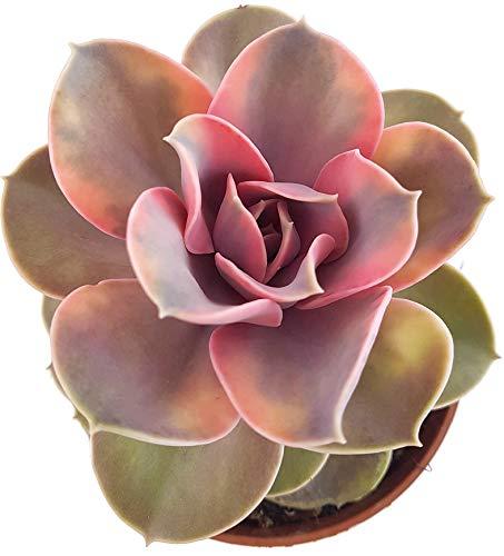 Fangblatt - Echerveria Rainbow - farbenfrohe Sukkulente - Zimmerpflanze mit rosettenartigen Wuchs - pflegeleichtes Dickblatt