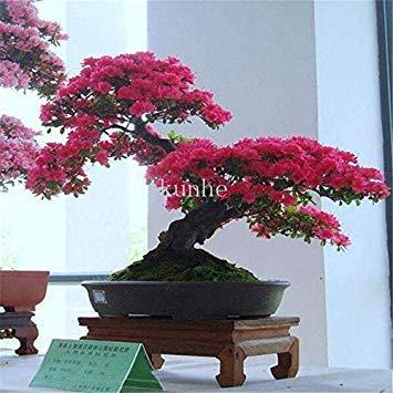 Echter japanischer Geist Blau Ahorn Bonsais Rare Balkon Bonsai-Baum-Pflanzen für Hausgarten-20 PC Verschiffen: 2