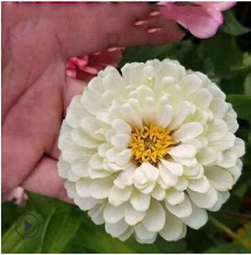 Lankfun Blüten Saatgut...