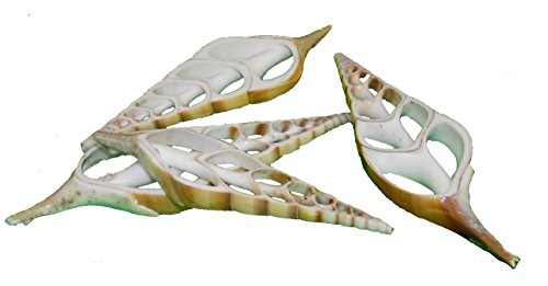 osters muschel-sammler-shop Muscheln/Schnecke - Brown Eluthani Slice -10 Stück/Muscheldekoration/große Schnecke/geteilt/Größe 7-15 cm/Fischernetzdekoration
