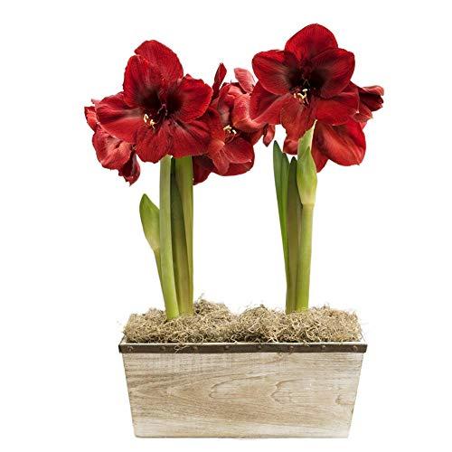 Amaryllis Zwiebel,Kaufen Sie NatüRliche Pflanzen,Keimendes Saatbett,Blumen Und Zimmerpflanzen,Freilandpflanze,SchöNe Blumen-1 Zwiebeln,Rot
