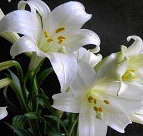 24 Couleurs New Lily Plantes d'intérieur bonsaï parfum graines de lys graines de fleurs - 50 graines / paquet
