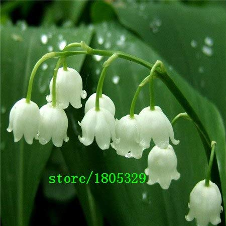 Bloom Green Co. GGG 50 pcs Lily of the Valley flower seeds, bell orchid seeds, rich aroma,bonsai flower seed, so cute and beautiful: White