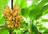 300pcs Banana Seeds Fruit Tree Bonsai Decor Home Gardening Planting
