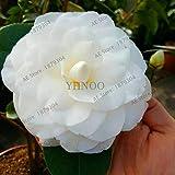 Bloom Green Co. ! Grande vendita Rare viola camelia bonsai dei 50 pc in vaso Flower Garden flores in vaso piante ornamentali plantas giapponesi Camellia, BBU2: 13