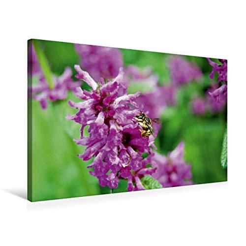 CALVENDO Premium Textil-Leinwand 75 x 50 cm Quer-Format Wildbiene auf Blüte. Wollbiene, Leinwanddruck von Anja Frost