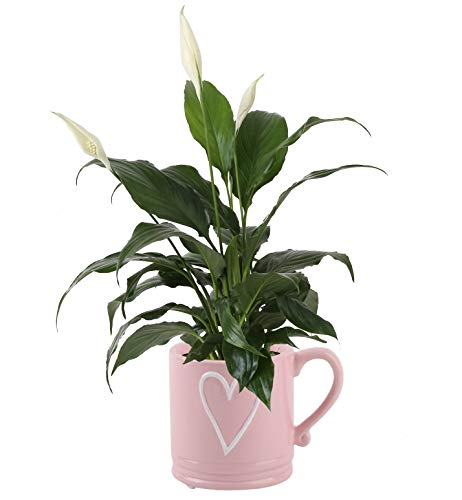 Costa Farms Peace Lily Indoor Plant, Décor Planter, Mother's Day Gift, 12-Inch, Coffee Love Mug