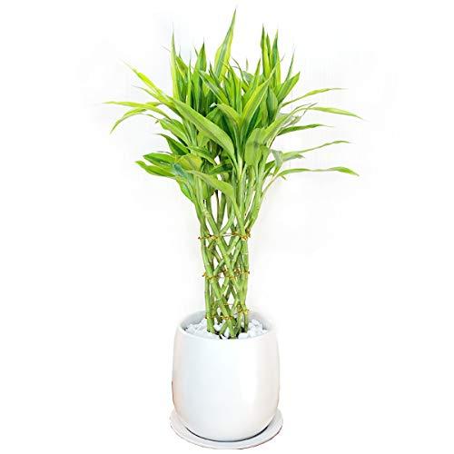 ミリオンバンブー 陶器鉢植え 観葉植物 ドラセナ 幸運の竹 中型 お祝い ラッキーバンブー 高級感あり