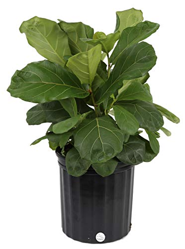 Costa Farms Ficus Lyrata Fiddle Leaf Fig Tree, Live Indoor Plant,...