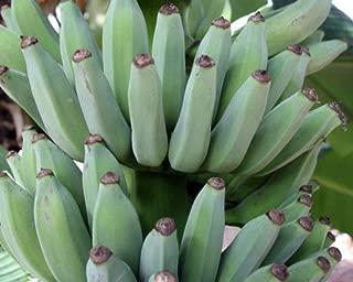 lady finger banana plants for sale