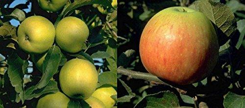 Duo Apfel Obstbaum Apfelbaum James Grieve Golden Delicious 100-150 cm im Topf