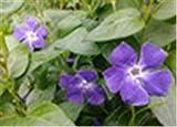 Importati 100 pc Misti Piante Pervinca Bonsai Fiore Vinca Copri Jardin Blooming Flore Vaso Mini Garden Facile da Coltivare: 9