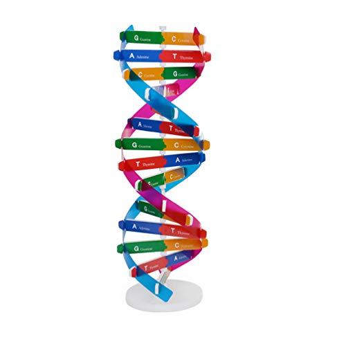 Kisangel Modelo de Hélice de ADN Componentes de Modelo de Doble Hélice Instrumento Ayuda de Enseñanza Biológica Ciencia Suministros de Aprendizaje Educativo para Niños Estudiantes Aula