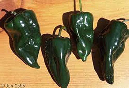 VISA STORE Pfeffer, Poblano Pfeffer Samen, Bio, Non GMO, 500 Samen pro Packung, milde Chili