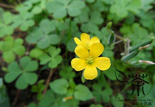 Famille Oxalidaceae Oxalis corniculata Graines 1200pcs, procumbent Jaune-oseille Semences de l'herbe, des plantes Novel Creeping woodsorrel Seeds