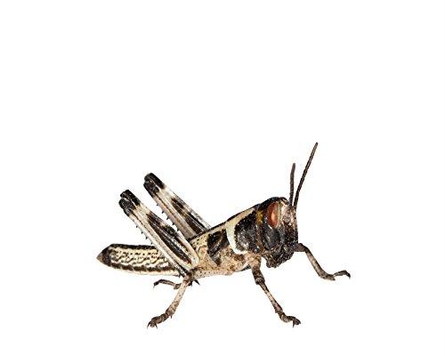 Heuschrecken 100 kleine Wüstenheuschrecken Futterinsekten Reptilienfutter
