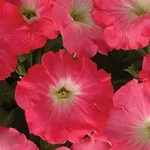 rosy dawn petunia
