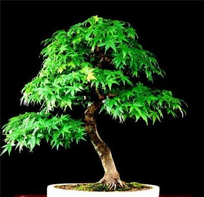 25Pcs Maple Seeds Mini Bonsai Seeds Bonsai Tree Seeds Maple Seeds Potted Plant for Home & Garden