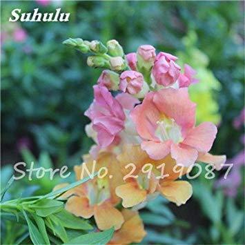 VISTARIC mixte: Rare hybride Mixte Rouge Vert Rose Violet Lin Lin Hanging Bonsai Flowewr Graines, Paquet professionnel, 50 graines/Pack, Belle