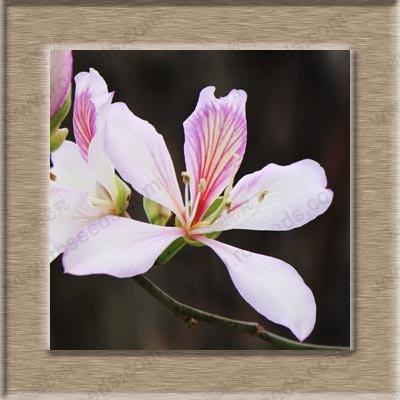 Graines Graines Bonsai Chine Redbud Flower Bauhinia Arbre Bricolage Jardin des plantes en pot semences 50 particules / sac