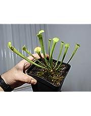 Sarracenia Tigo hibrido planta carnivora