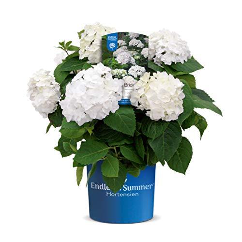 Endless Summer 'The Bride' Hortensie , edle Blüten im eleganten Weiss , winterhart , mehrjährig , Pflanze für Garten, Terrasse, Balkon oder Kübel