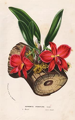 Sophronitis Grandiflora - Brazil Brasil Orchid Orchidee Blume flower flowers Blumen Botanik botanical botany