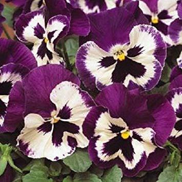 "ENVIDESO 50 pc Pany seedring Matrix Purple and White""New Variety"" Viola X wittiana"