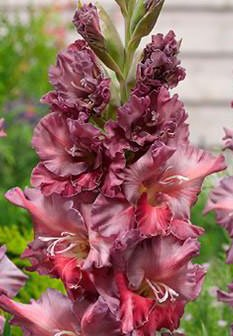 (5) Rostov Gladiolus, Purple & Red Flowers, Fresh Flowering Large Sized Bulbs, Nice addition to your Garden, Unique Color
