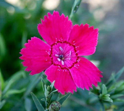 Heide-Nelke - Dianthus deltoides - Dianthus Zing Rose - 10 Samen