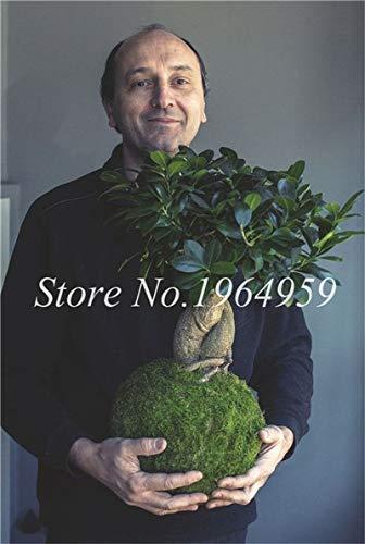 ShopMeeko Seeds:Bonsai 50 Pcs Chinese Ficus Benjamina Bonsai Tree Plants Flowers Potted Bonsai Variety Complete DIY Home Garden Plants Easy Grow : 11