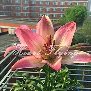 Fash Lady Lilienzwiebeln echte Blumenzwiebeln Pflanze Lilie Blumensamen Hausgarten Pflanze Bonsai Original Profi 2 Bäume