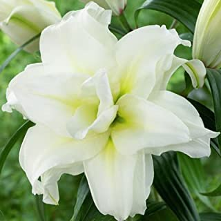 5 Bulbs Double Oriental Roselily Carolina. End of Season Clearance Price!