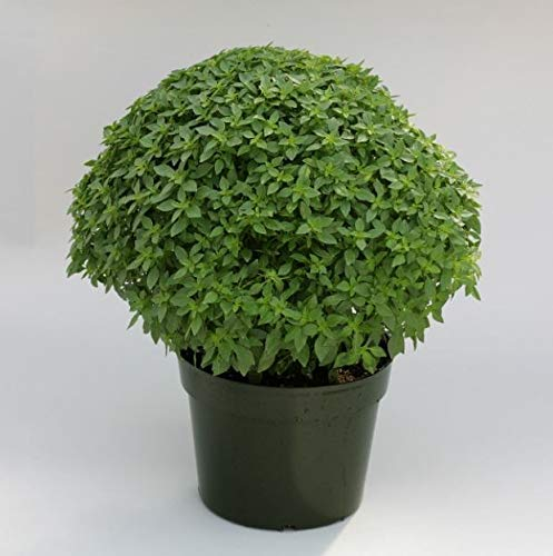 Portal Cool Suffolk Herbes - Image Paquet - Basil - Aristote - 50 graines