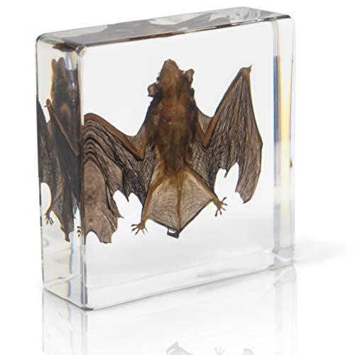 Bat Specimen- Real Bat Specimen, Encased Animal Specimen for Science Classrooms or Gifts, by American Heritage Industries