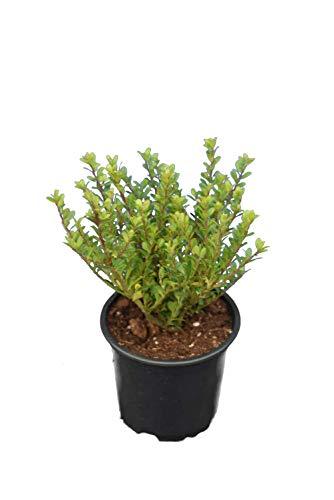 Set di bosso Setzling – Ilex crenata Glorie Dwarf – Altezza totale 20 – 30 cm in vaso da 0,5 litri – 10 pezzi