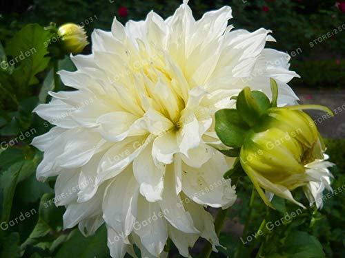 Green Seeds Co. Mehrfarbige Dahlie Glühbirnen SchÃne Mehrjährige Dahlie Blumenzwiebeln Bonsai Pflanze DIY Hausgarten: 17