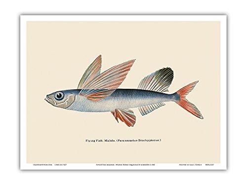 Pacifica Island Art Fliegende Fische (Malolo) - Waikiki Hawaii Aquarium - Jahrgang Farbe Postkarte c.1905 - hawaiianischer Kunstdruck - 23cm x 31cm