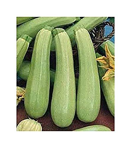 Zucchini Weiß Palermo - Kürbis - 20 Samen