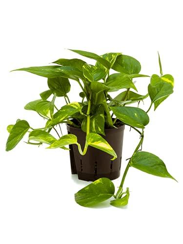 Golden POTHOS Scindapsus Epipremnum Aureum Devils Ivy Indoor Plant in 12cm...